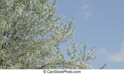 Smoothly swaying cherry sprigs in b - Huge cherry tree with...