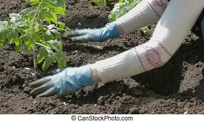 Stamping tomato seedlings into rich - Young woman in white...