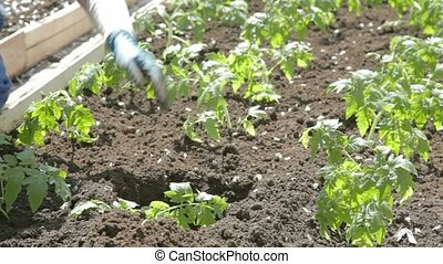 Planting tomatoes in ready-made holes among already planted...