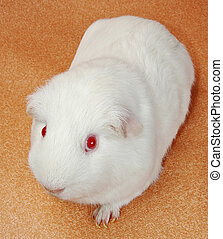 portrait of funny white cavy with red eyes