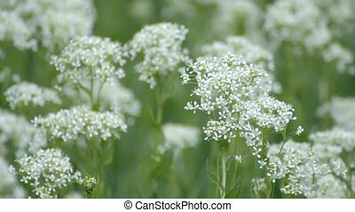 Medicinal green plants with large white inflorescences...