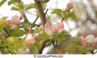 Apple tree branches with rosebuds o