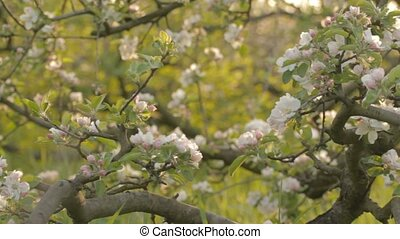 Wonderful apple tree garden - Whimsically crooked apple...