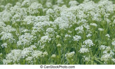 Green medicinal plants with large w