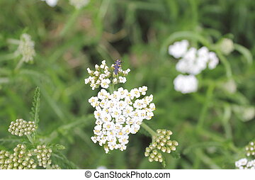 Stunning close up white cow parsley - White cow parsley...