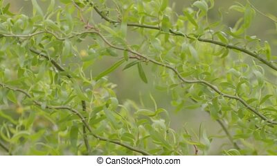 Wind rustles green wavy willow bran - Wind rustles green...