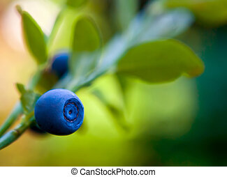 whortleberry - blue berry of whortleberry on a stem with...