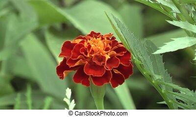 flower, - beautiful flower in a meadow.