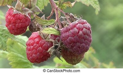 raspberry, - raspberries in the garden