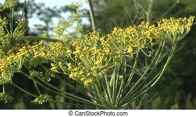 dill in the garden