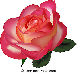 Beautiful tea rose on a white background. Vector.