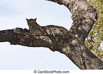 Leopard lying on brach in big tree shade resting