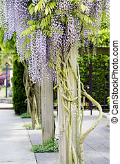 Beautiful, elegant purple wisteria flowers cascading off...