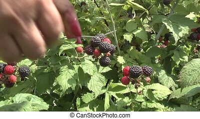 Blackberry - harvest of blackberries.