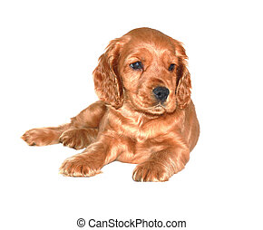 spaniel dog isolated on white background
