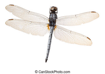 insect dragonfly isolated in white