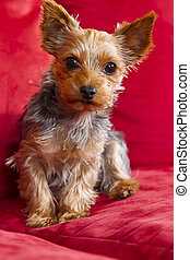 Yorkie Terrior Puppy - Young Yorkie Terrior puppy on a red...