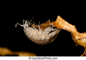 pill bug - animal pill bug macro