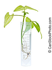 GM plant seedling in test tube - Genetically modified plant...