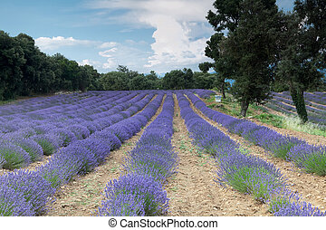 Salagon Lavender - Lavender fiels of the Salagon priory in...