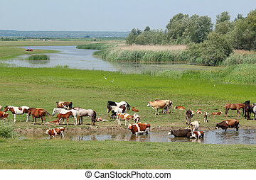 cows and horses on river