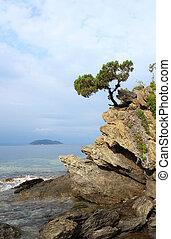 pinho, árvore, rocha, acima, mar