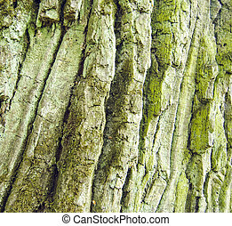 oak tree rough bark with moss texture