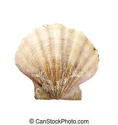 Shell, Pecten Jacobaeus