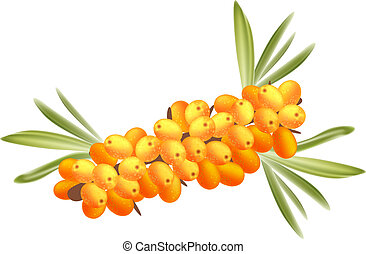 The branch of sea-buckthorn berries.