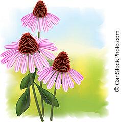Echinacea (purpurea)  on a fullcolor background.