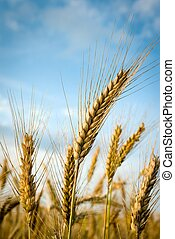 wheat - green spring grains, close up of yellow wheat ears...