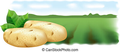 Potatoes and potato field Vector illustration Panorama