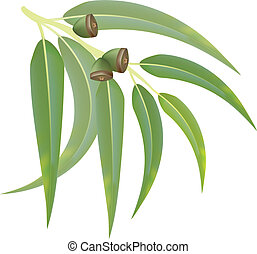Eucalyptus branch on white background. Vector illustration.
