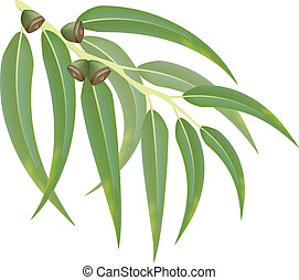 eucalipto, rama, vector, Ilustración