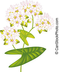 Flower buckwheat. Vector illustration on white background.