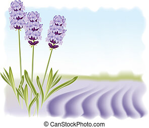 Lavender flowers on a background field. Vector illustration.