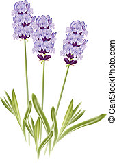 Lavender flowers (Lavandula). Vector illustration on white background.