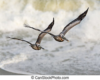 Pelican Surf - A pair of pelicans fly in formation with...