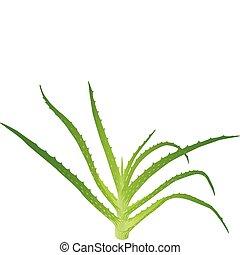 Aloe vera leaves. Vector illustration on white background.