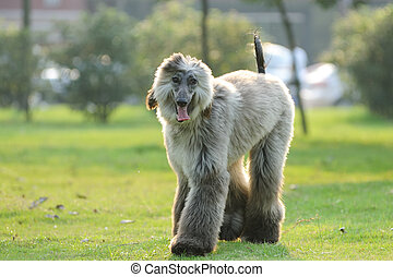 Afghan hound dog walking - An afghan hound dog walking on...