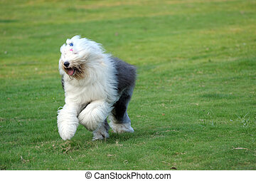 Old English sheepdog - An old English sheepdog running on...