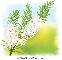 Melaleuca - tea tree Vector illustration on fullcolor...