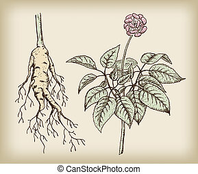 Ginseng Panax, a medicinal plant Root, stem, fruit Vintage...
