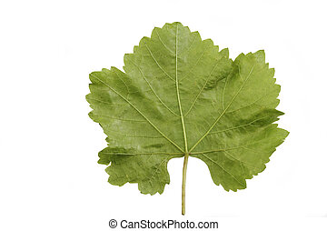 vine leaf - green vine leaf rear