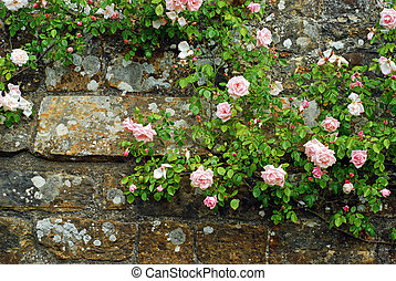 Pink roses on an old stone wall - closeup Pink roses on an...