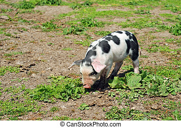 spotted pig grazing in mud and grass