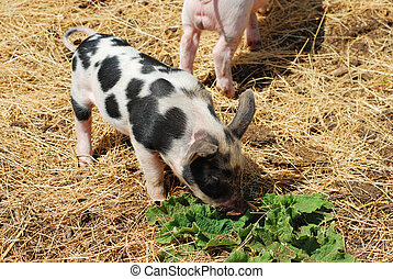 spotted pig closeup eating