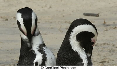African penguins - A pair of African penguins (Spheniscus...