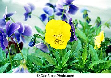 Pansy, Viola tricolor.