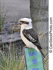 Keep Off - Kookaburra bird sitting on a Keep Off sign